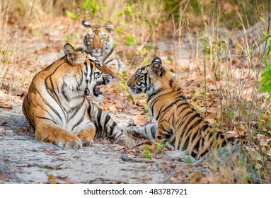 Tigress and cubs. In a sunny day the tigress lies on a forest glade. The Bengal tiger, also called the royal Bengal tiger (Panthera tigris tigris). India. Bandhavgarh National Park