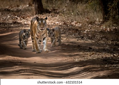 tigress with cubs. tiger mother and her cubs