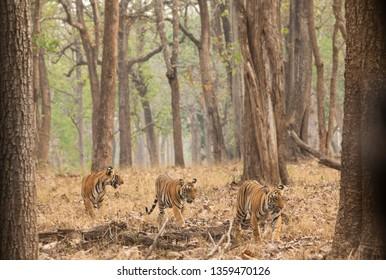 Tigress at Kabini with cubs