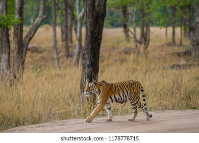 A tigress from kanha national park roaming around in her territory on the trail