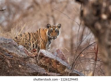 Tigress Krishna cub observing the surroundings, Ranthambore Tiger Reserve