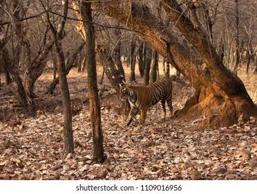 Tigress Noor cub marking its territory, Ranthambore Tiger Reserve