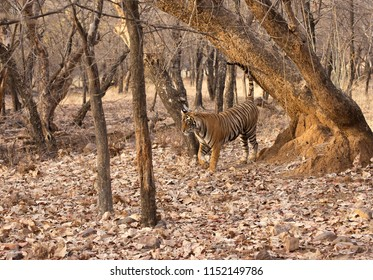 Tigress Noor cub marking territory, Ranthambore Tiger Reserve