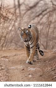 Tigress Noor cub on the roads of Ranthambore Tiger Reserve