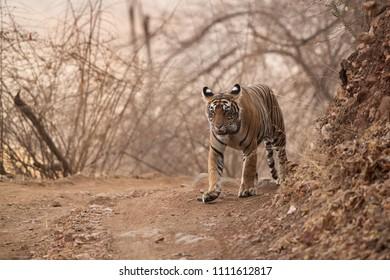 Tigress Noor cub at Ranthambore Tiger Reserve