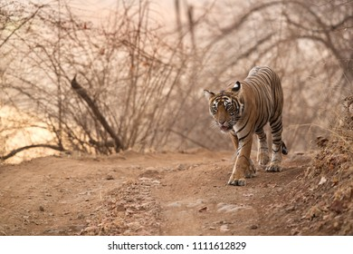 Tigress Noor cub, Ranthambore Tiger Reserve