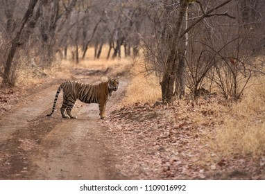 Tigress Noor cub standing in the mid of the road at ranthambore Tiger Reserve