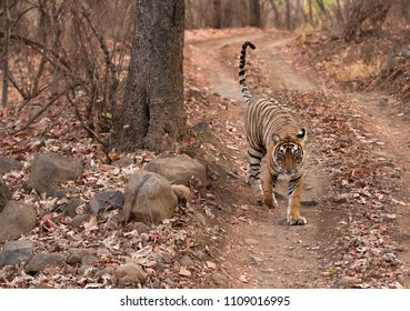 Tigress Noor cub walking on the track, Ranthambore Tiger Reserve