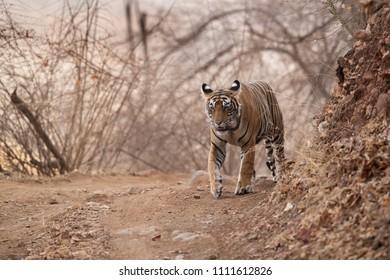 Tigress Noor cub walking on the road, Ranthambore Tiger Reserve