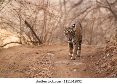 Tigress Noor cub walking on the road at Ranthambore Tiger Reserve
