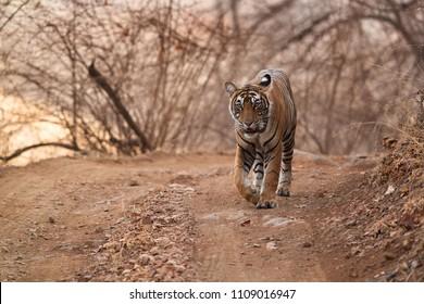 Tigress Noor cubs royal walk, Ranthambore Tiger reserve
