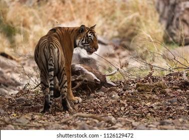 Tigress Noor with kill, Ranthambore Tiger Reserve