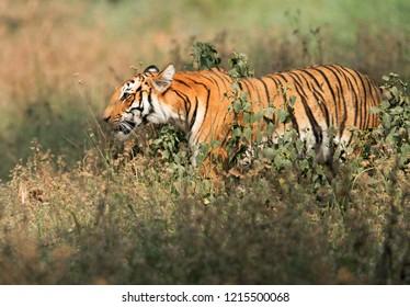 Tigress Parwali in the bushes, Jimcorbett national tiger reserve India