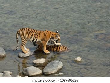 Tigress Parwali and her cub at Ramganga river, Jim Corbett