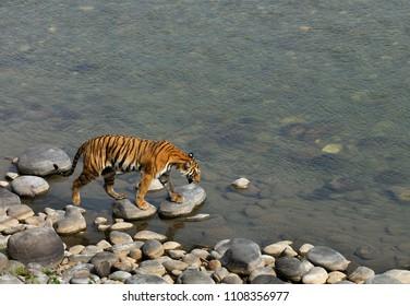 Tigress in Ramganga river, Jim Corbett Tiger reserve