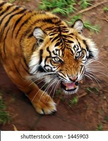 Tigress snarling, motion blur