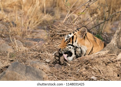 Tigress T60 cub cleaning its paws, Ranthambore Tiger Reserve
