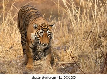 Tigress T60 cub, Ranthambore Tiger Reserve