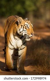 Tigress walking along a forest track, Tadoba National Park, India
