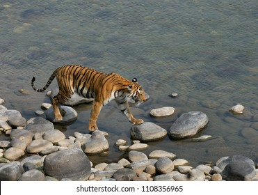 Tigress walking on the boulders of Ramganga river at Jim Corbett Tiger reserve