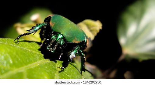 Tijuana. B.C. Mexico. July 3 of 2018.  A green beetle or also known as the fig beetle in a hibiscus leaf during summer.