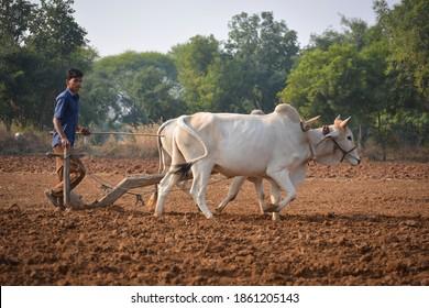 TIKAMGARH, MADHYA PRADESH, INDIA - NOVEMBER 23, 2020: Unidentified Indian farmer working with bull at his farm. - Shutterstock ID 1861205143
