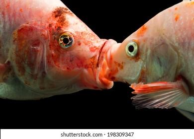 TILAPIA COUPLE KISSING UNDERWATER, HIGH QUALITY AQUARIUM STUDIO SHOT