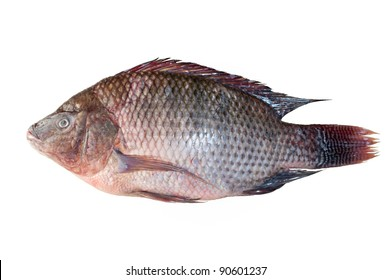 Tilapia fish isolated