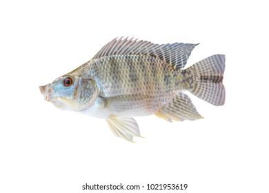 tilapia fish isolated on white background