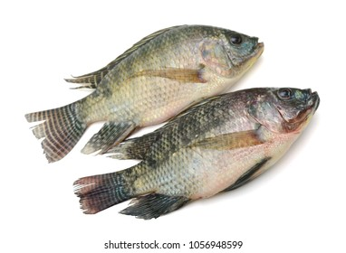 Tilapia fish isolated on white background