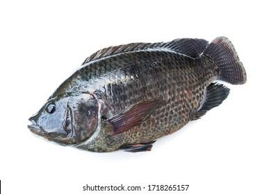 Tilapia fish isolated on white background.
