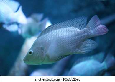 Tilapia Fish in the sea