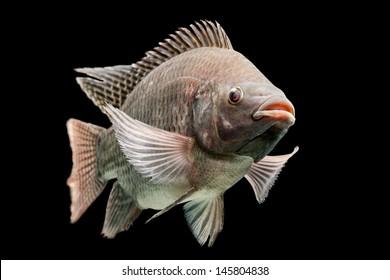 tilapia fish swimming aquaculture nile cichlids mozambique tilapia oreochromis mossambicus isolated on black studio aquarium shot tilapia fish swimming aquaculture nile cichlids colour eyeball wild an