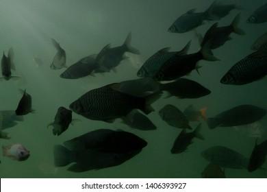 Tilapia Fish that swim in turbid fresh water with effect light.