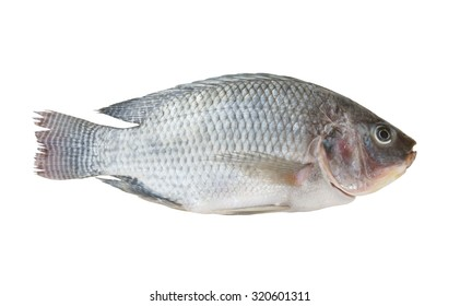 Tilapia isolated on white background
