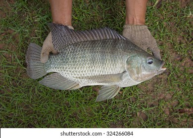 Tilapia (Oreochromis niloticus) big size in hand