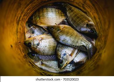 TilapiaFish
