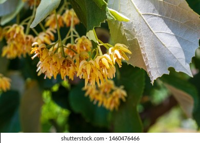 Tilia cordata leaves and flowers. Linden flowers with leaf on the branch. Fresh flowers and leaves of linden.