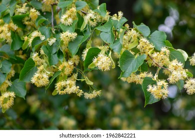 Tilia cordata linden tree branches in bloom, springtime flowering small leaved lime, green leaves in spring daylight