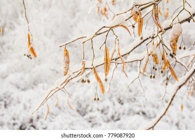 Tilia Flowers Orange In The Snow Winter
