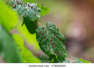 Tilia - large-leaved linden leaf with morning dew. On the leaf sits the Beech Beetle - Mikiola fagi, which has a red color and a conical shape. The leaves are in nice light and beautiful bokeh.