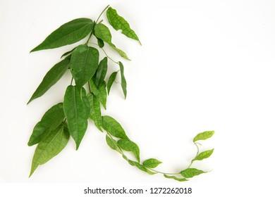 Tiliacora triandra,green leaves have medicinal properties.