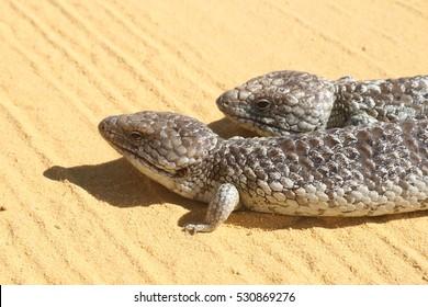 Tiliqua rugosa or Blue-tongued lizard.  Australian native skink see crossing hot desert sand in Cervantes in Western Australia,
