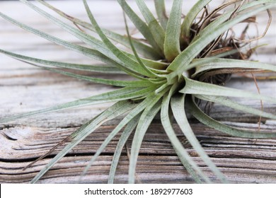 Tillandsia, air plant, against a wooden background. Air plants are known for their air purification abilities, making them a popular houseplant.