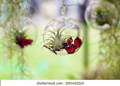Tillandsia (Air Plant) inside a glass bubble