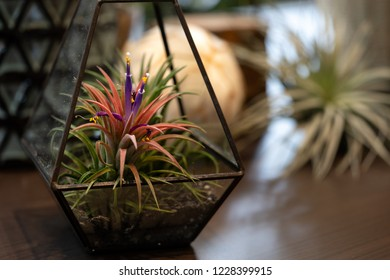 Tillandsia (Air Plant) Trees for home and garden decoration and places, Indoor garden ideas. Close up.