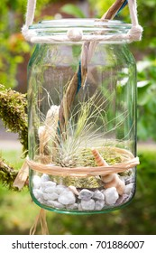 Tillandsia argentea, a airplant, decorative placed in a jar.