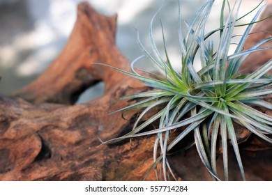 Tillandsia Cotton Candy (T.stricta x T.recurvifolia), plants in the family Bromeliaceae, Air plants on timber.