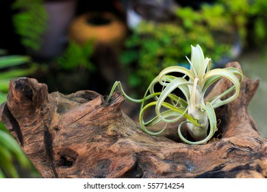Tillandsia Curly Slim (T.intermedia x T.streptophylla), plants in the family Bromeliaceae, Air plants on timber