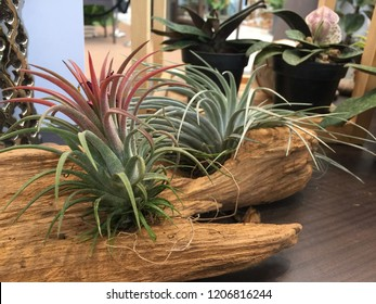 Tillandsia. Idea for Home and table decoration by used Tillandsia, driftwood, bromeliad and mixed with other ornamental plants. Indoor garden ideas